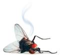Dead+fly
